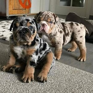 blue merle english bulldog puppies for sale